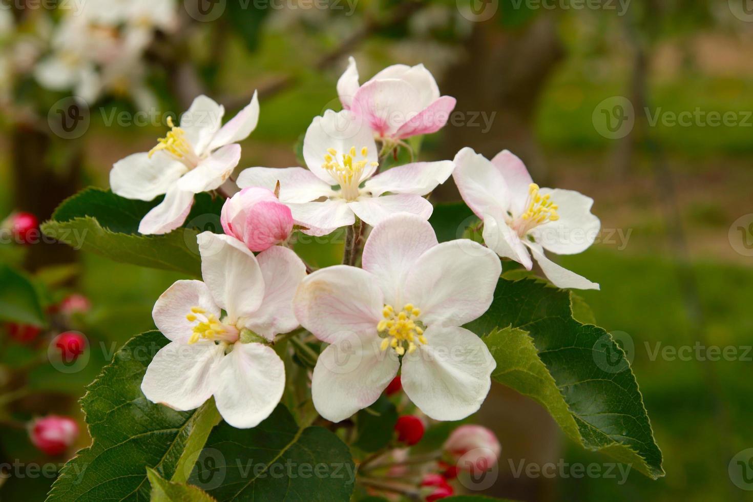 fleurs de pommier photo
