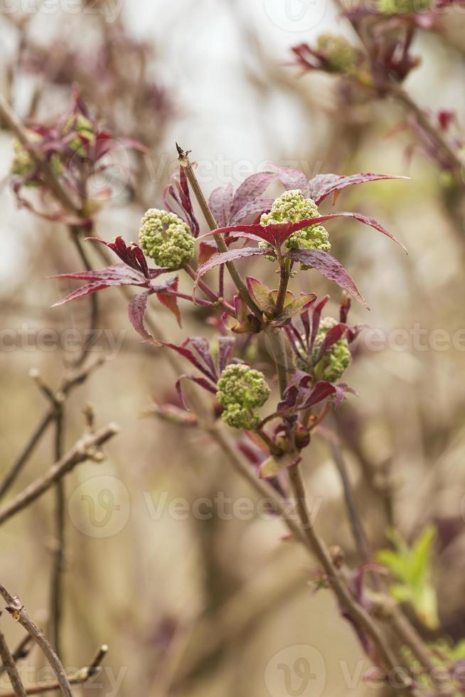 Fleur de sureau rouge, Sambucus racemosa photo