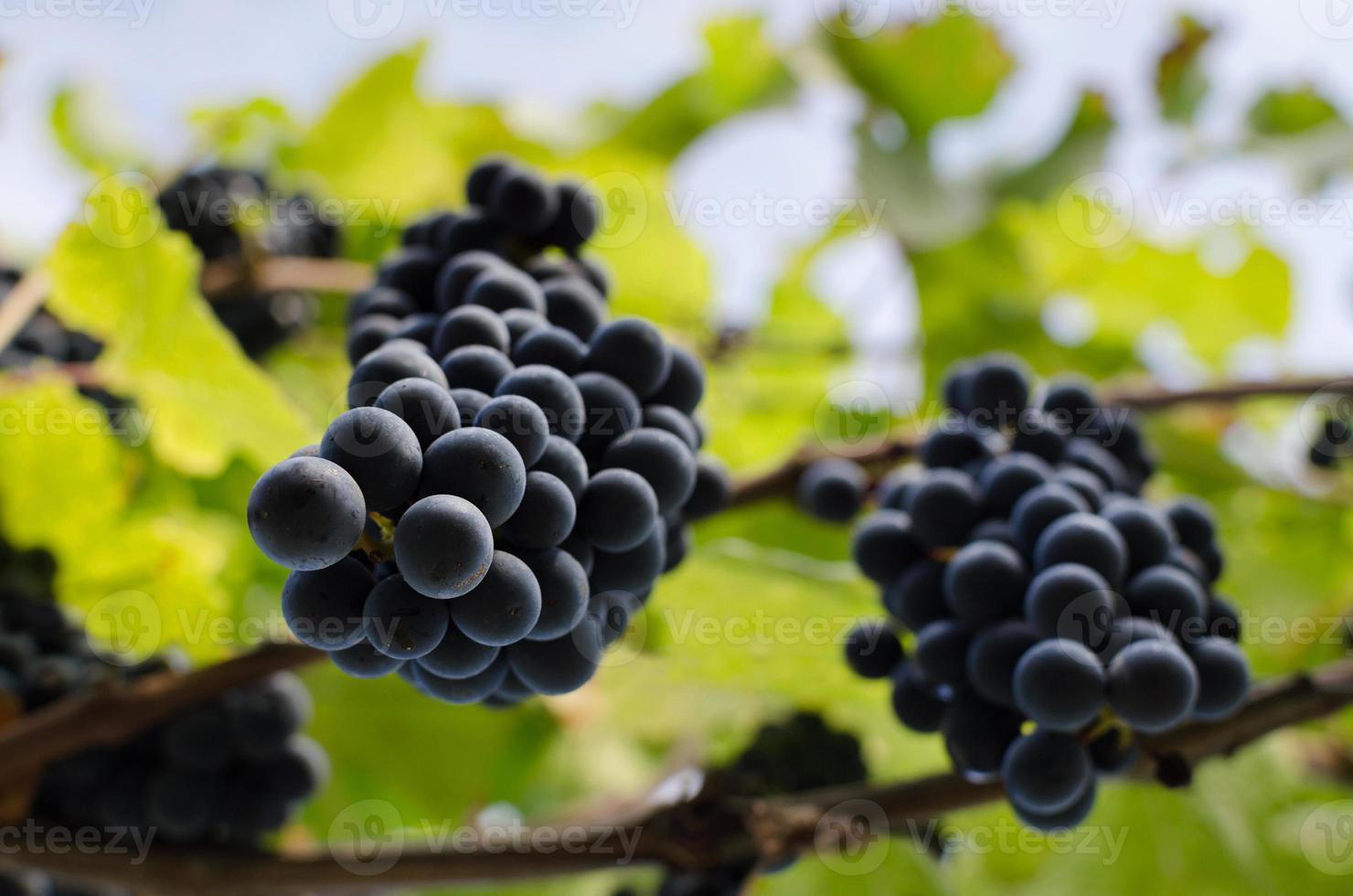 vigne avec des grappes suspendues de raisin rouge. photo