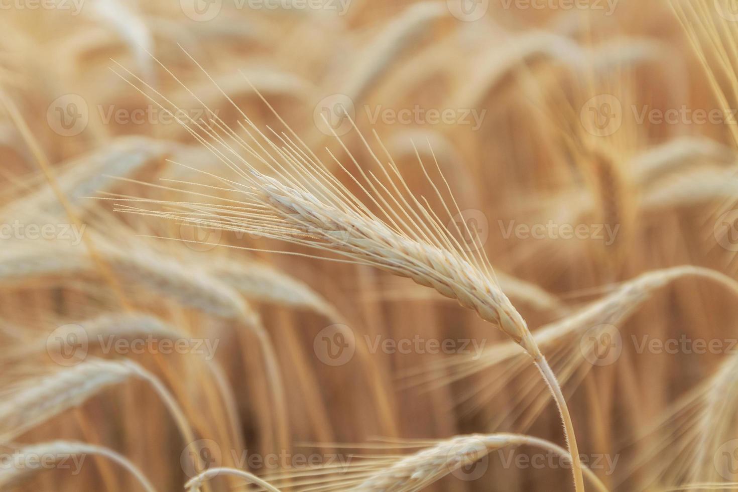 champ de blé jaune photo