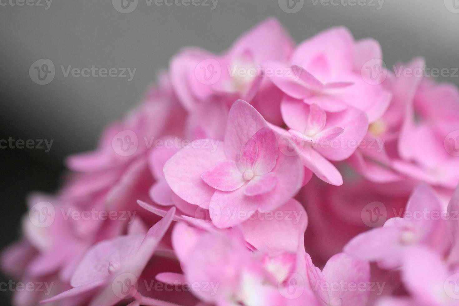 hortensia rose photo