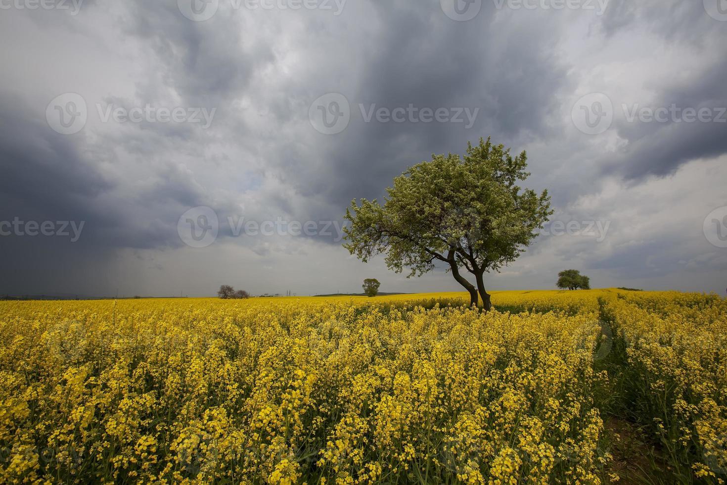 champ jaune photo
