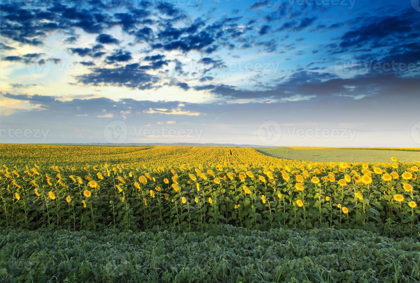 Champ de tournesol à l'aube à côté du champ de soja photo