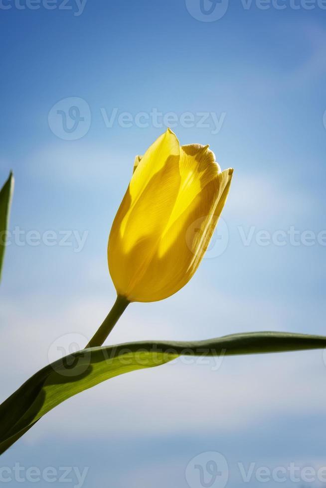 tulipe jaune photo