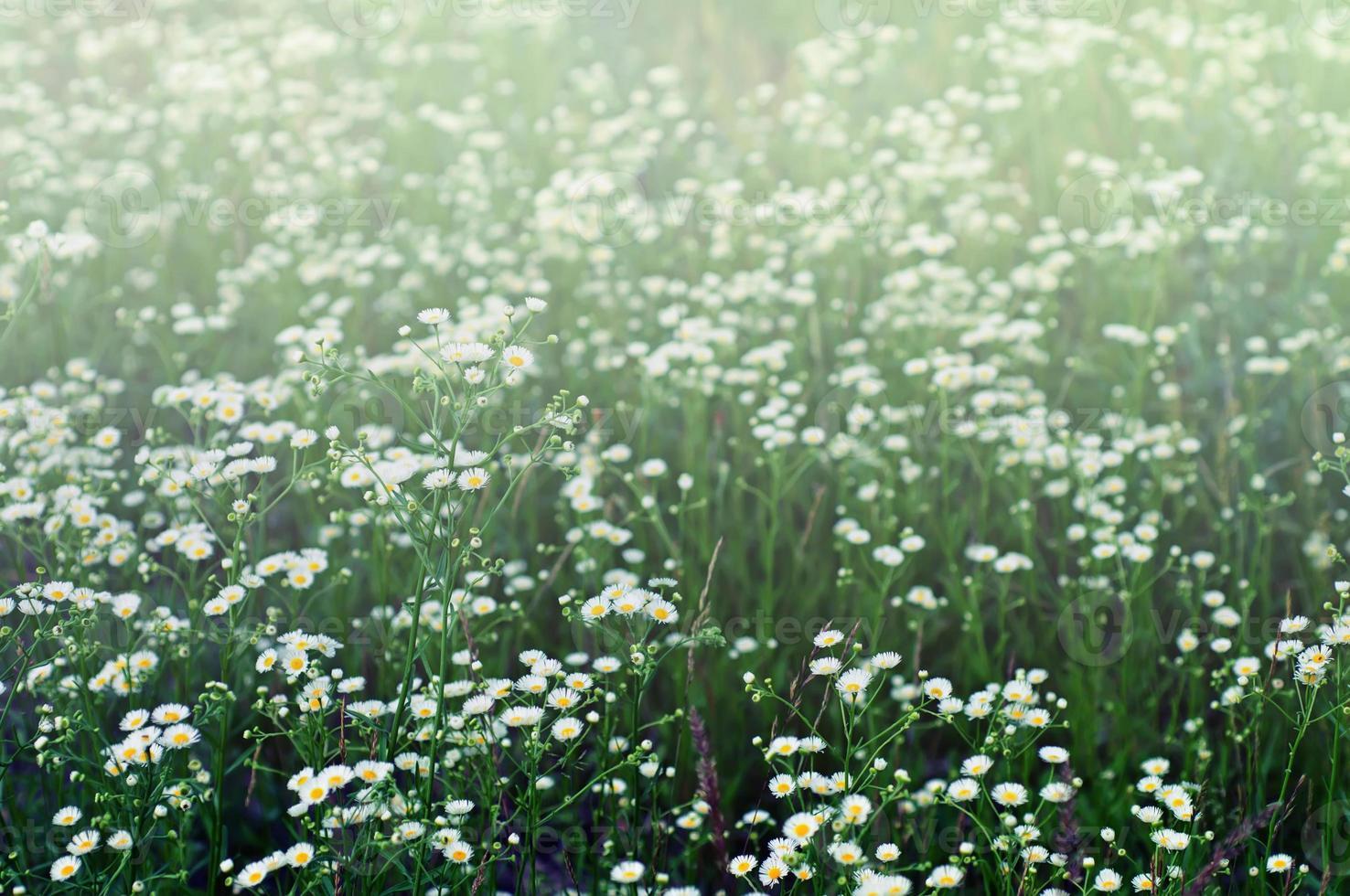 fleurs de camomille sauvage photo
