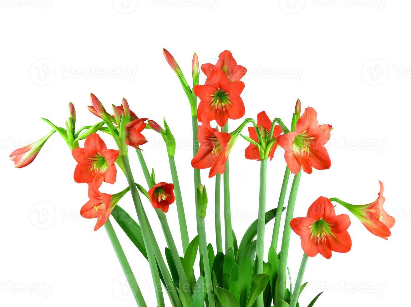 Fleur d'amaryllis rouge sur fond blanc photo