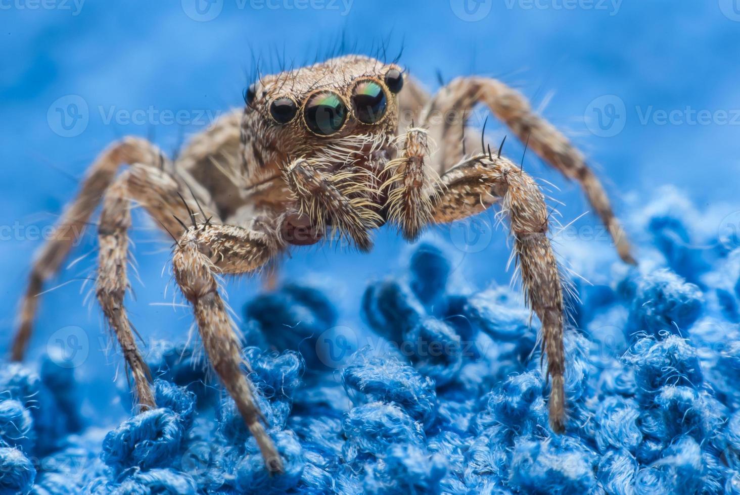 araignée sauteuse photo