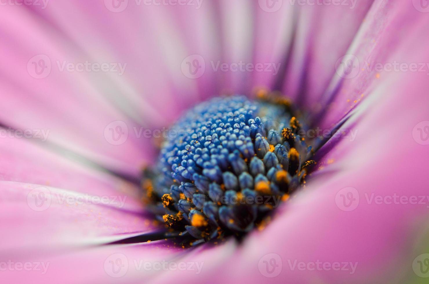 belle fleur de chrysanthème violet photo