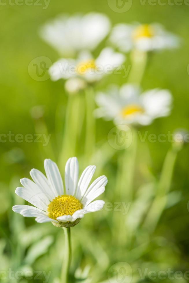 fleurs de marguerite sur prairie photo