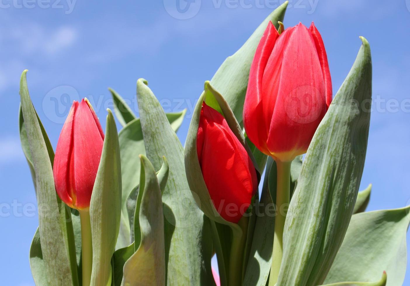 tulipes rouges et ciel bleu photo