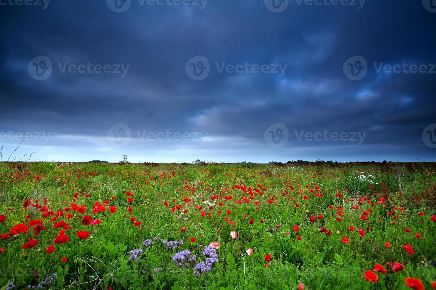 champ de fleurs de pavot et ciel sombre photo