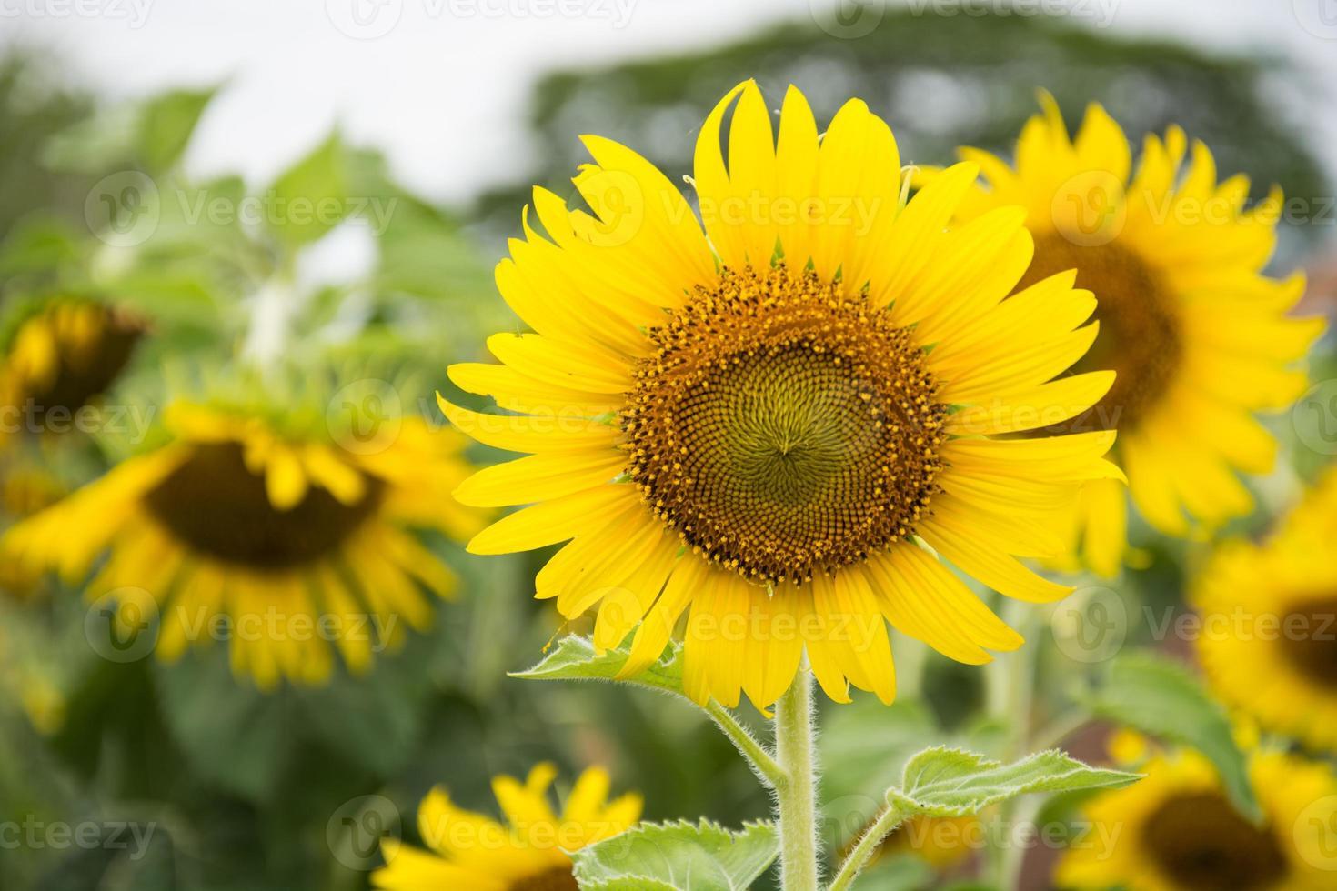 fleur du soleil contre un ciel bleu photo