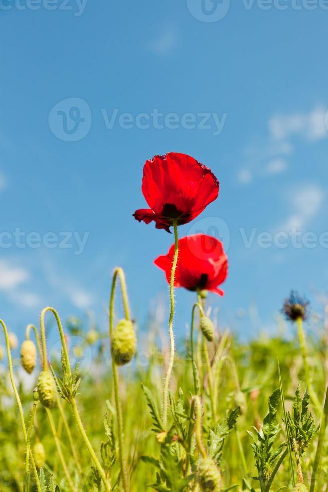 fleurs de pavot avec ciel bleu nuageux. photo