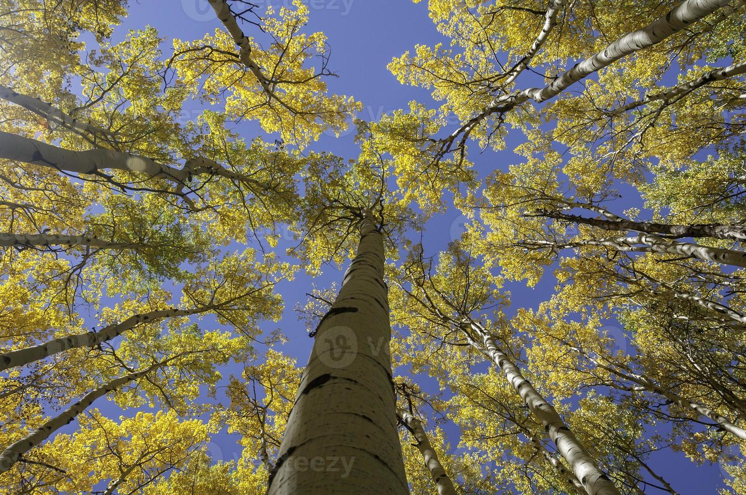 Tremble jaune vif contre le ciel bleu clair photo