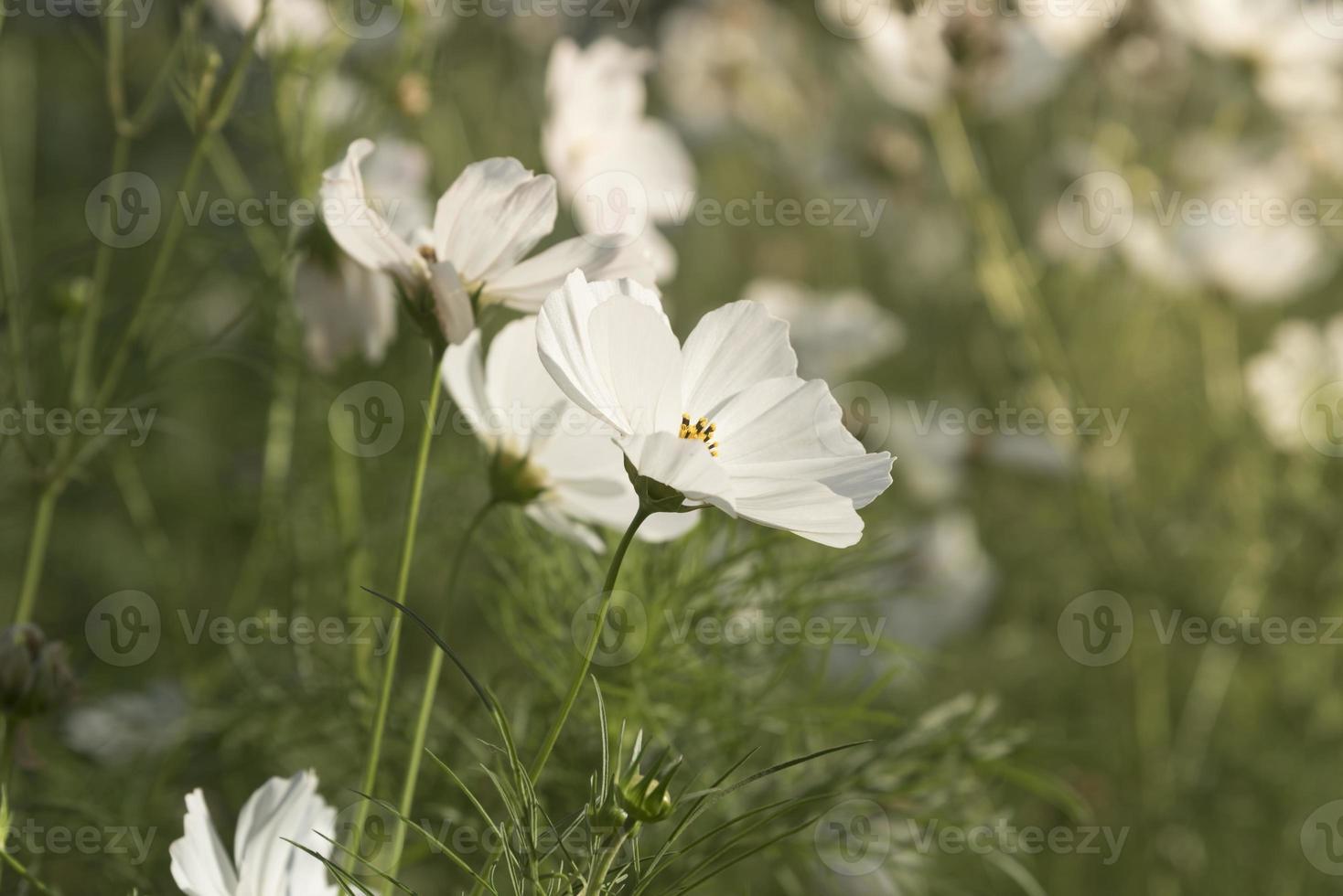 Fleur de marguerites blanches sur fond de ciel bleu photo