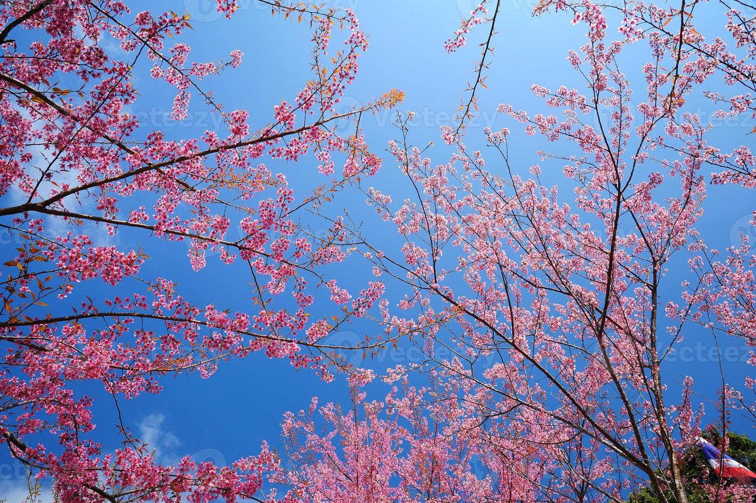 fleurs de cerisier de printemps avec fond de ciel bleu photo
