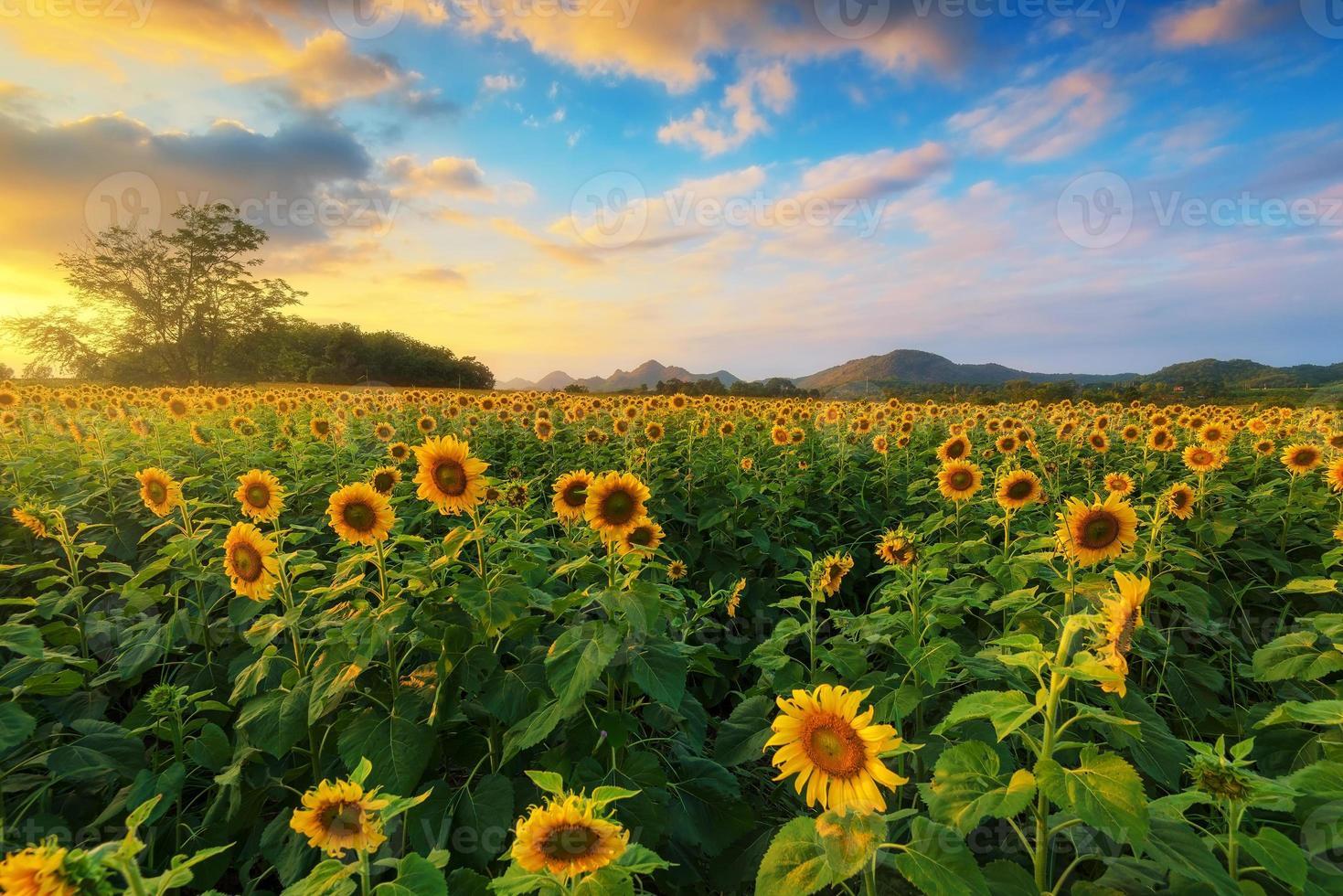 tournesol en fleurs dans un champ avec un ciel coloré. photo