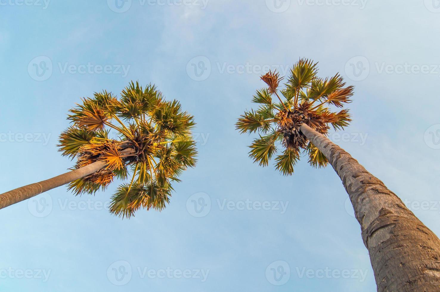 palmier à sucre sur un fond de ciel bleu. photo
