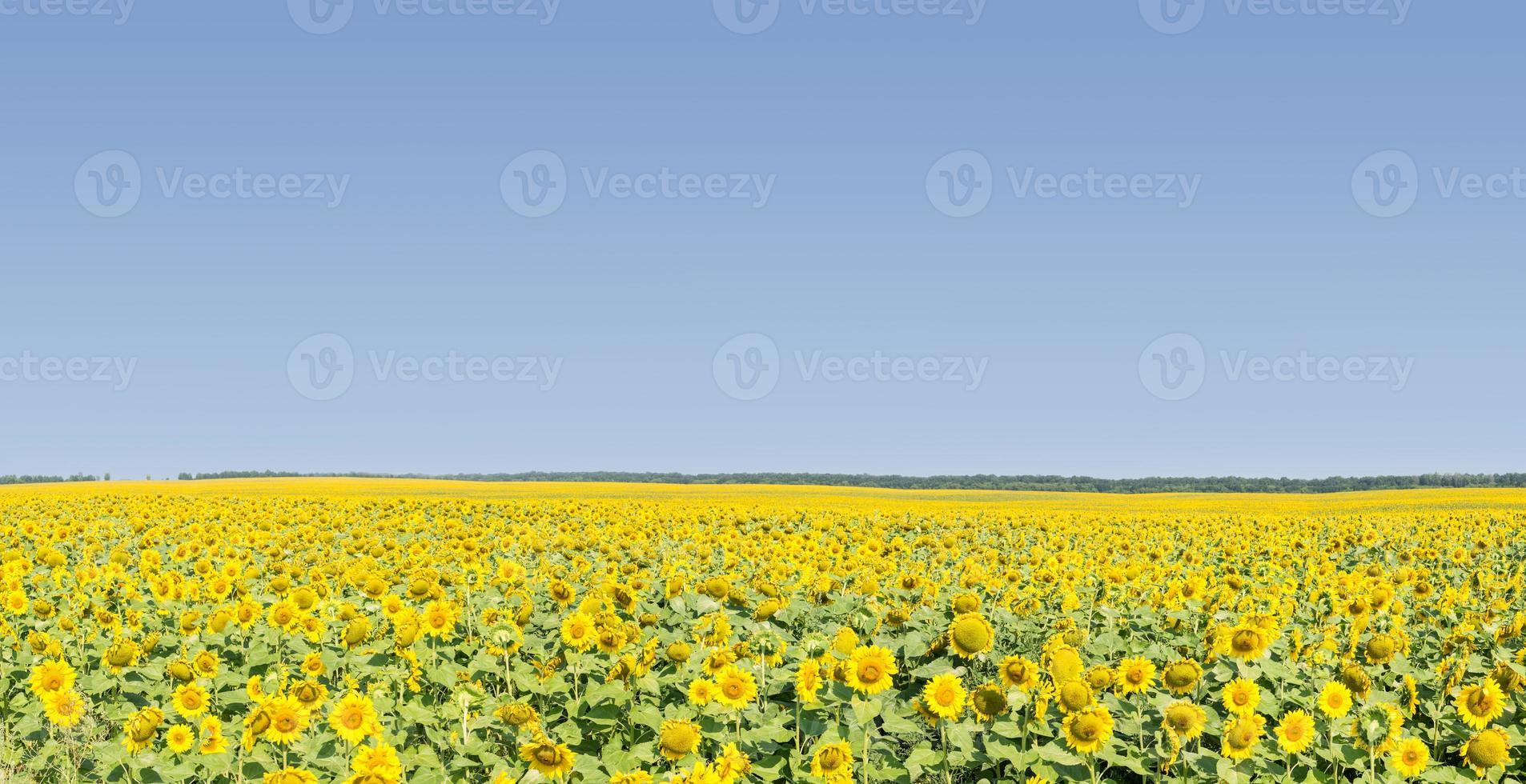 champ de tournesols mûrs avec ciel bleu photo