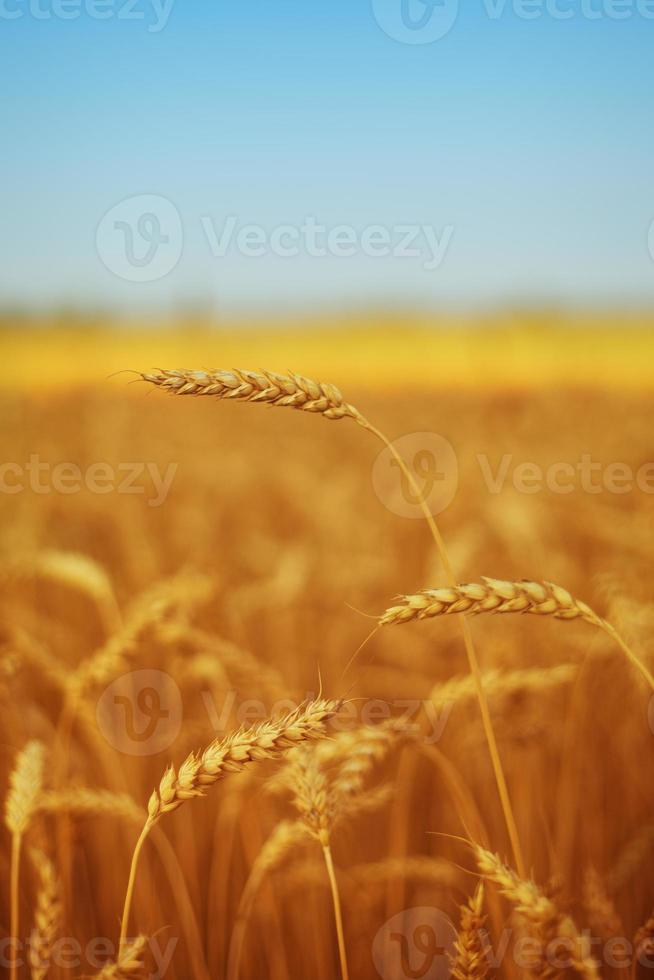 champ de blé sous le ciel bleu photo
