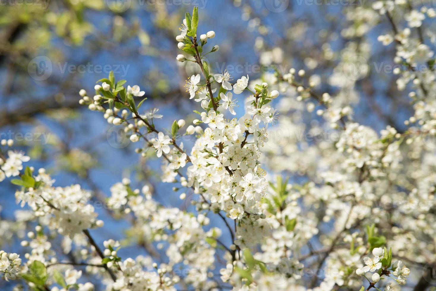 fleur de pommier. journée ensoleillée. ciel bleu photo