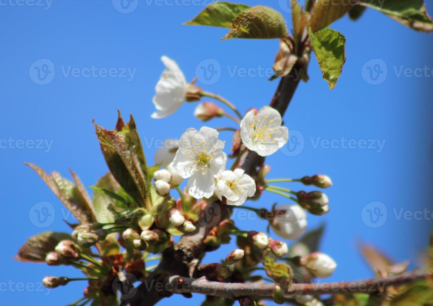 fleurs de cerisier blanc en sping avec ciel bleu photo