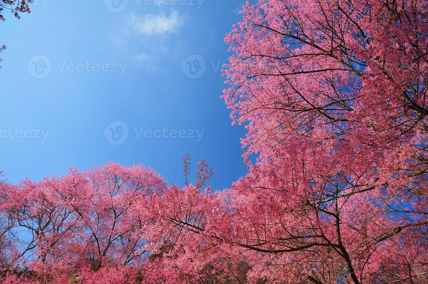 superbes fleurs de cerisier roses sur fond de ciel bleu photo