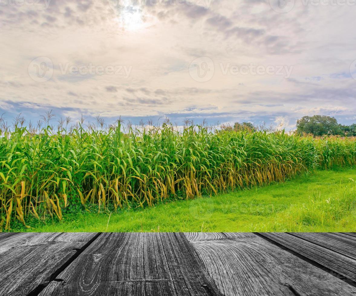 image de champ de maïs et ciel en arrière-plan photo
