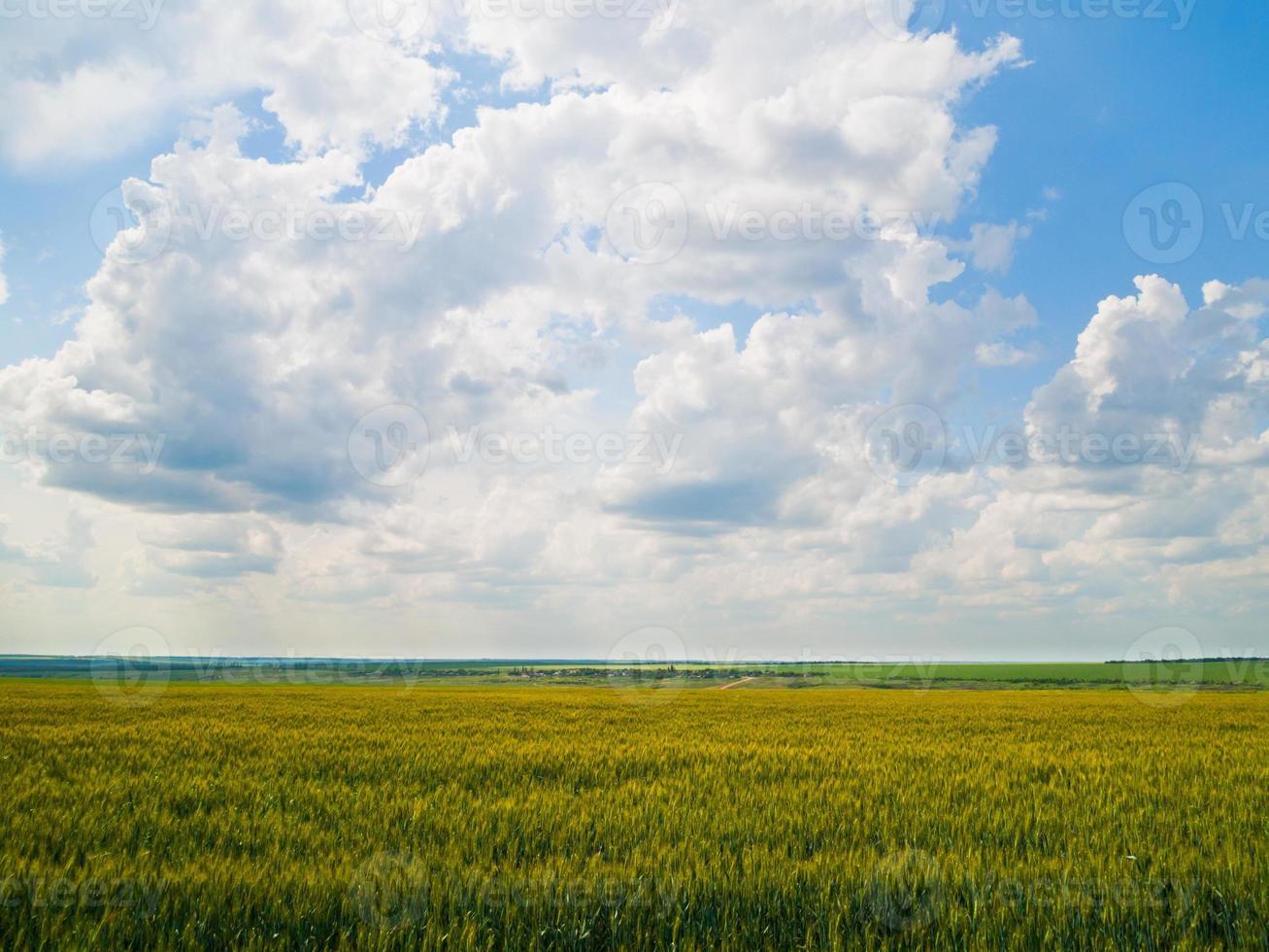 Champ de blé non mûr avec ciel nuageux profond photo
