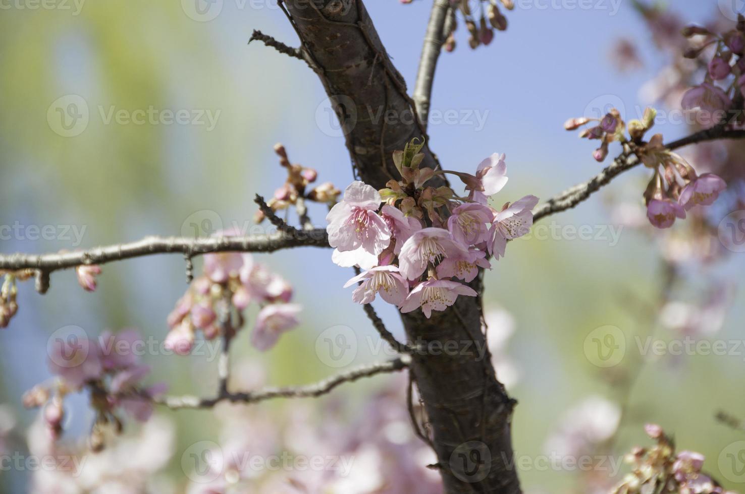 fermer les fleurs de cerisier contre le ciel photo