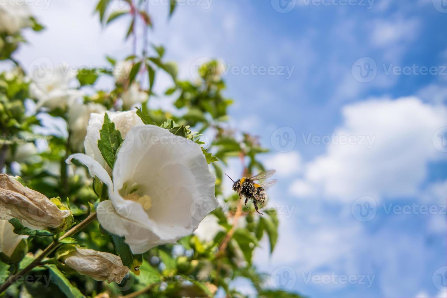 mauve rose avec bourdon photo