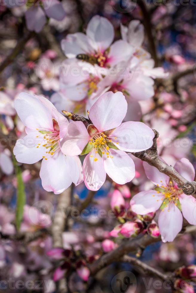 almendros en flor. photo