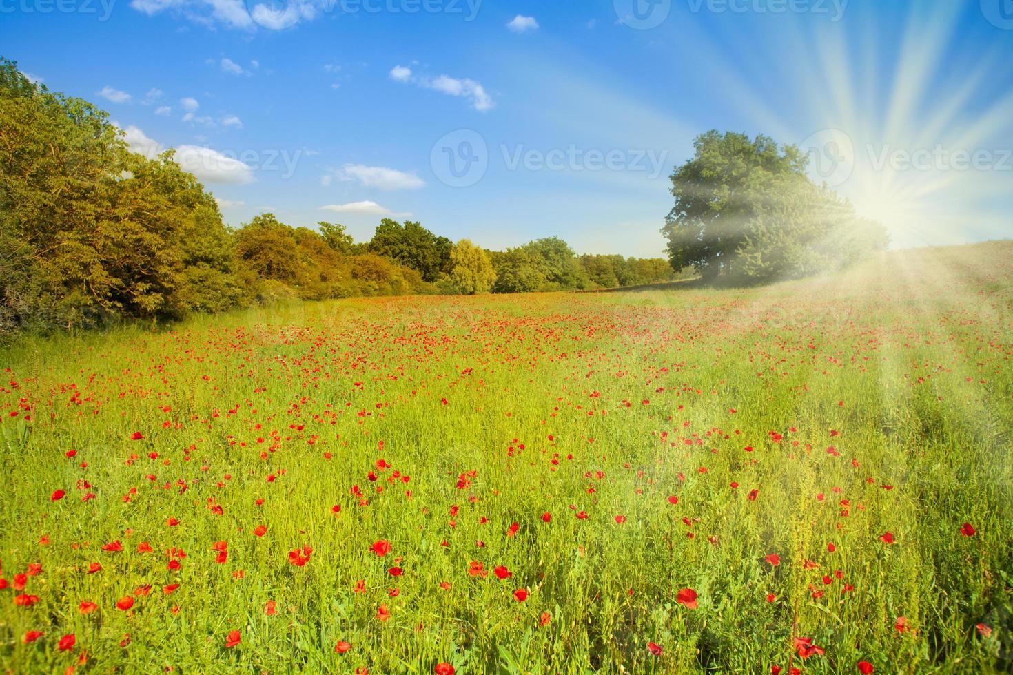 champ avec des fleurs de pavot au soleil du matin photo