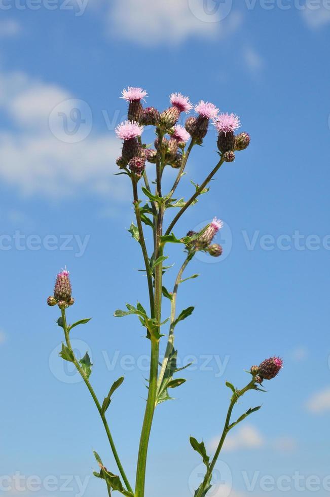 chardon rampant (cirsium arvense) photo