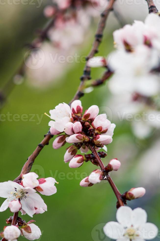 fleurs abricotier en fleurs sur fond de ciel photo