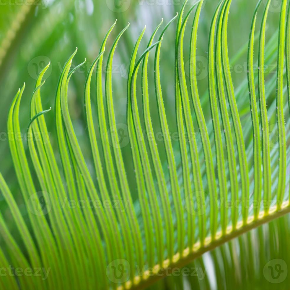 Feuille de cycad vert gros plan au printemps photo