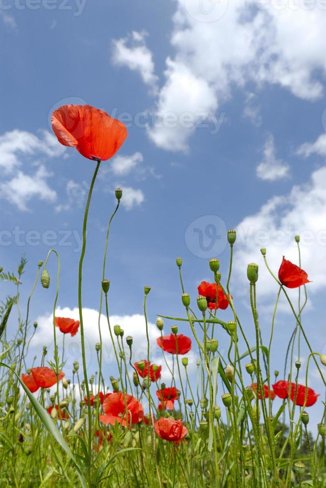 coquelicots sauvages photo