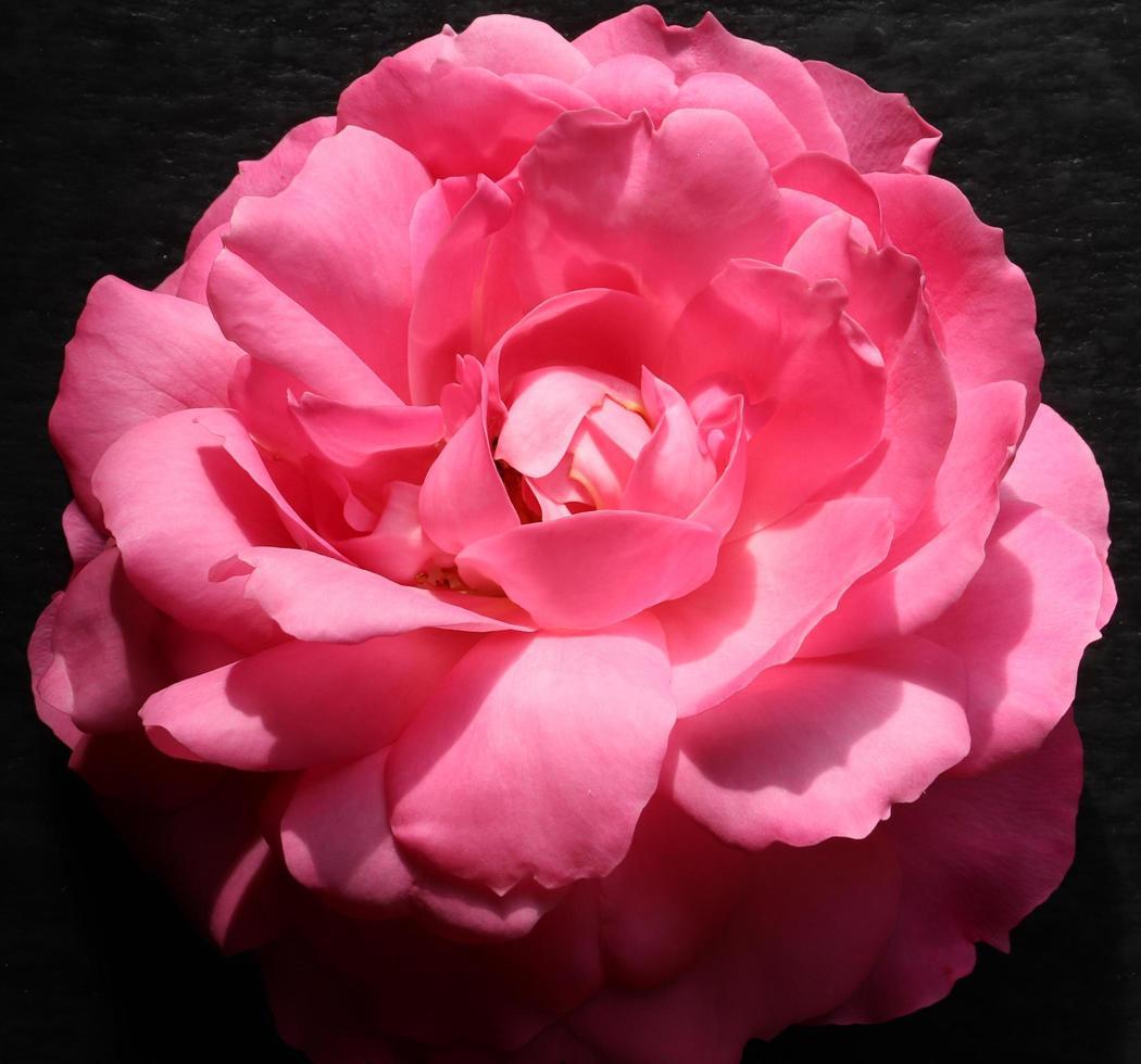 rose sur ardoise photo