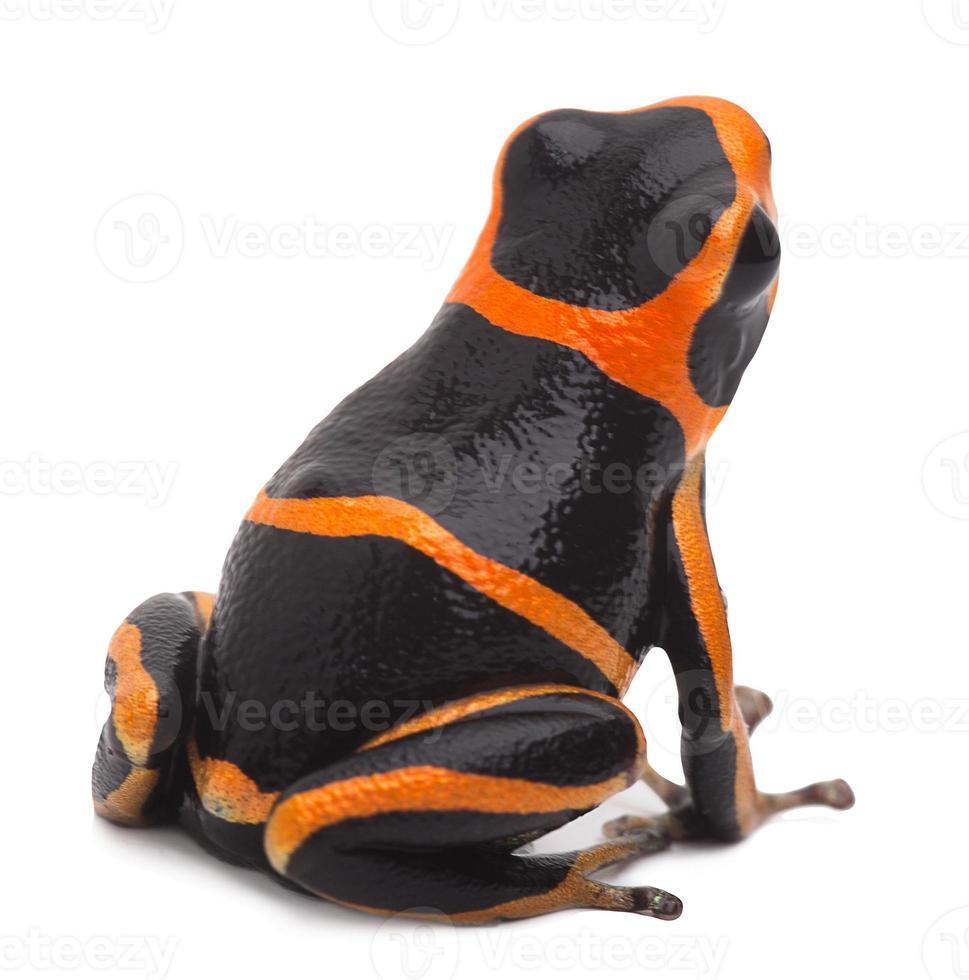 grenouille de poison photo