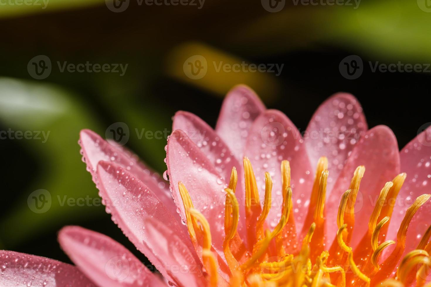 nénuphar rose photo