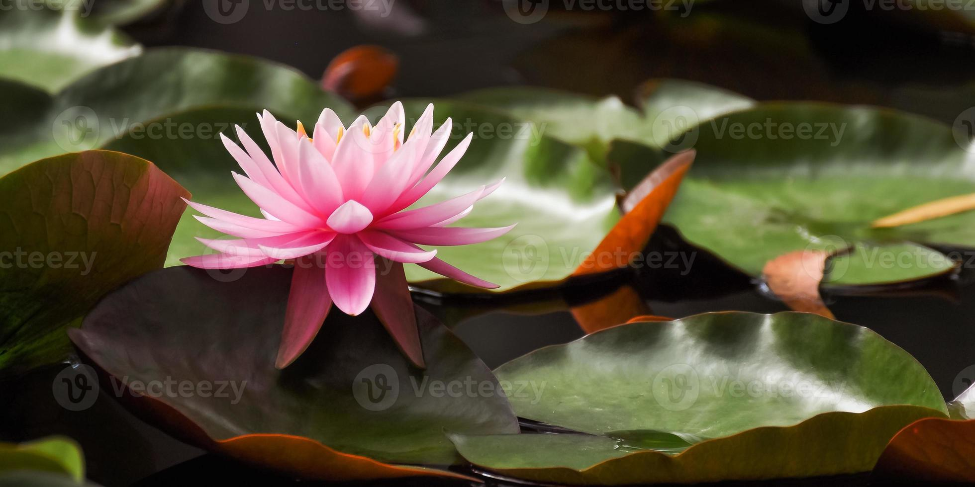 fleur de nénuphar rose photo