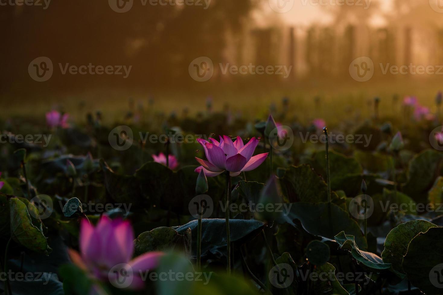 lotus et lumière chaude du soleil photo