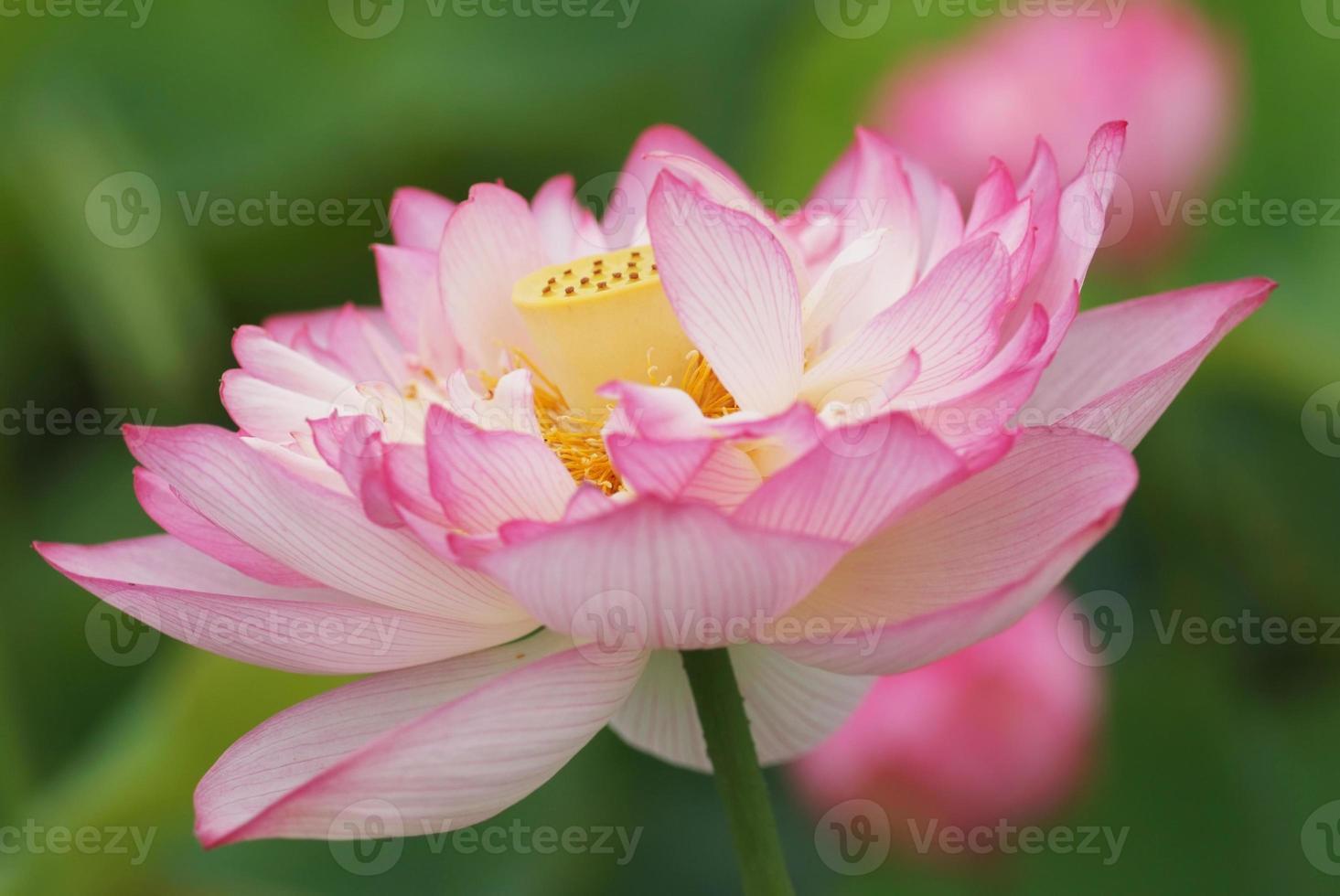 lotus à fleurs doubles avec passepoil photo
