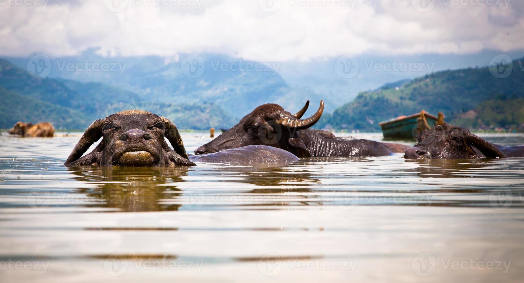 buffles d'eau rafraîchissants dans le lac de fewa, au Népal photo