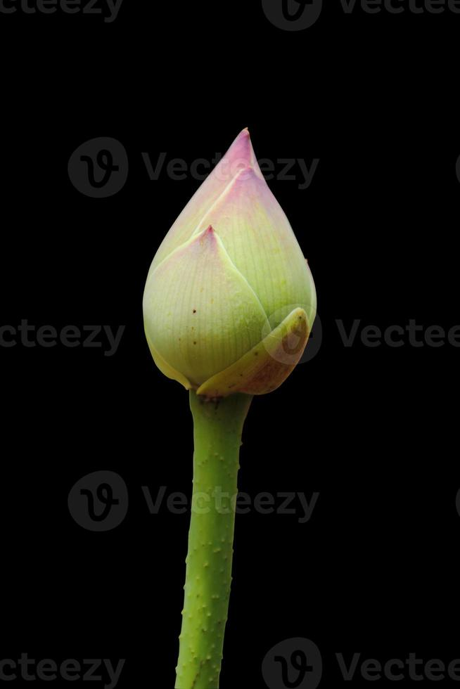 bourgeon de lotus photo