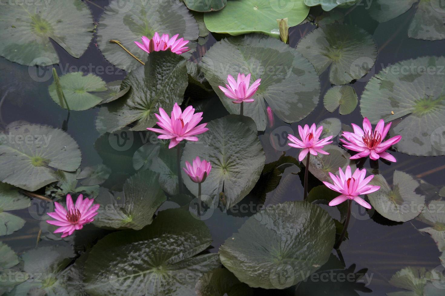 grappe de lotus rose photo