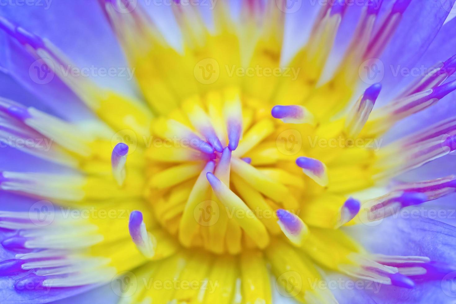 gros plan de fleur de lotus violet photo