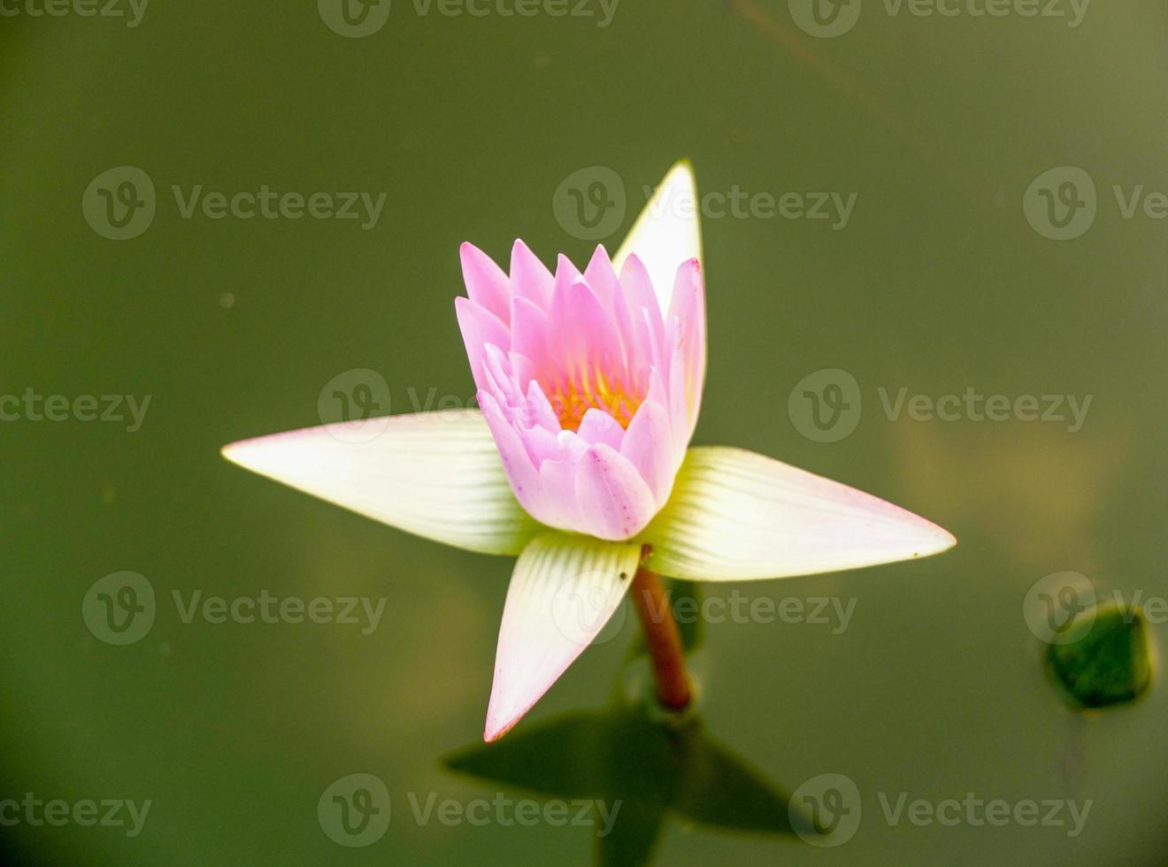 fleur de lotus dans l & # 39; étang de la ville photo