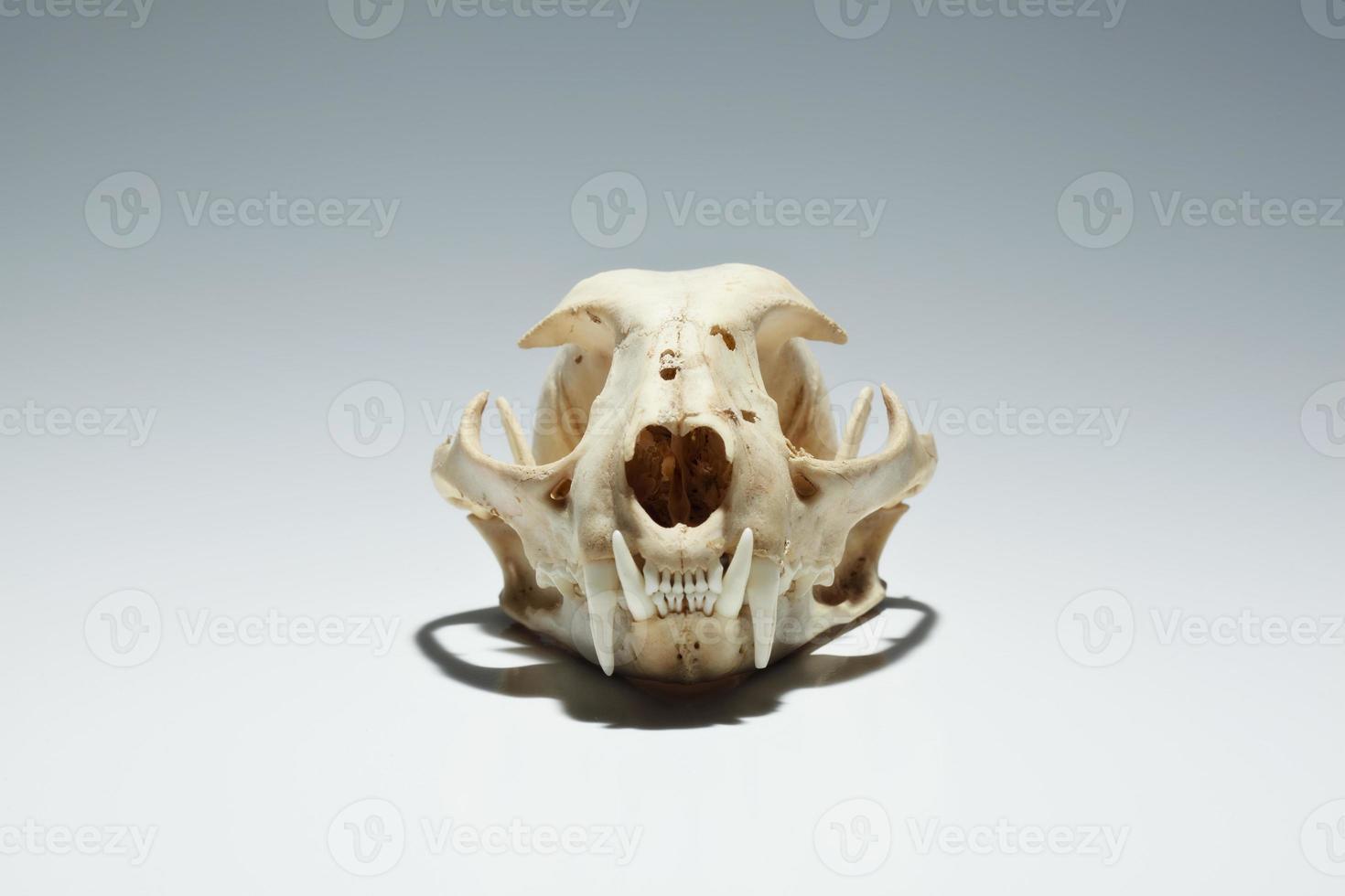 crâne de lynx roux photo