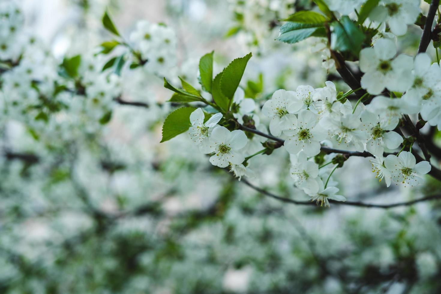 fleur de cerisier blanc photo